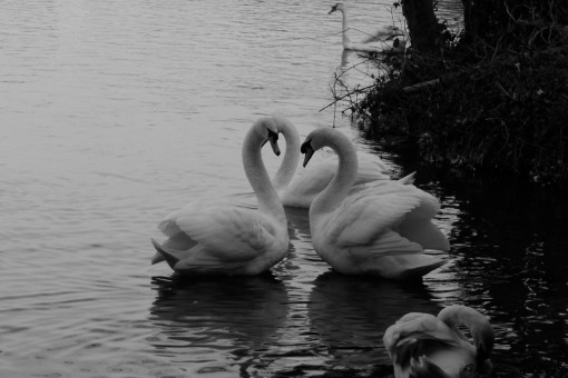 Swans a courting