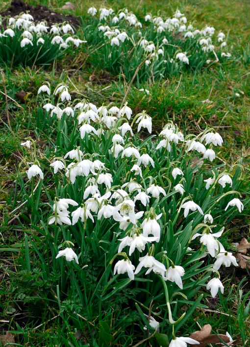 Snowdrops on a slope