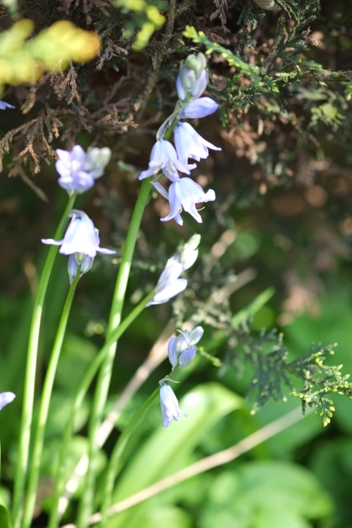 Harebells in the hedgerow