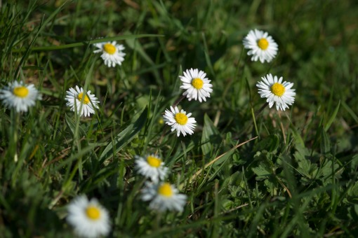 Dinky daisies, in and out of focus.