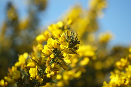 Gorse on the Common