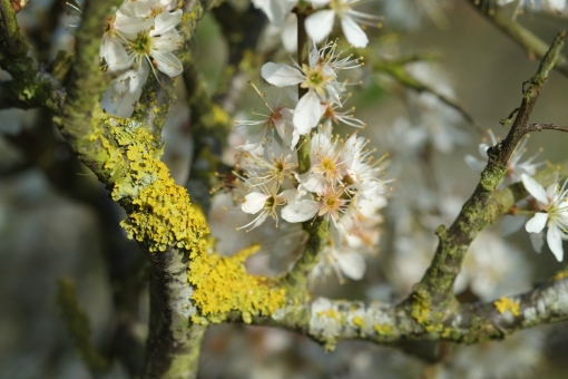 Lichen on a branch, with flowers
