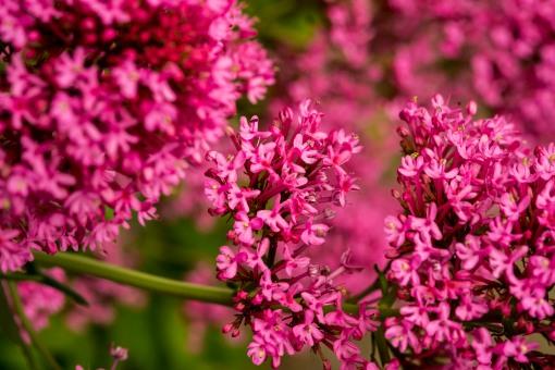 Valerian Pink