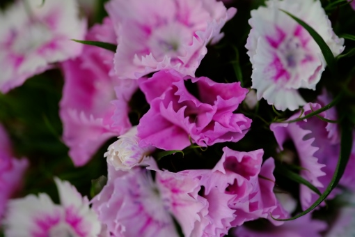 Spiky pinks