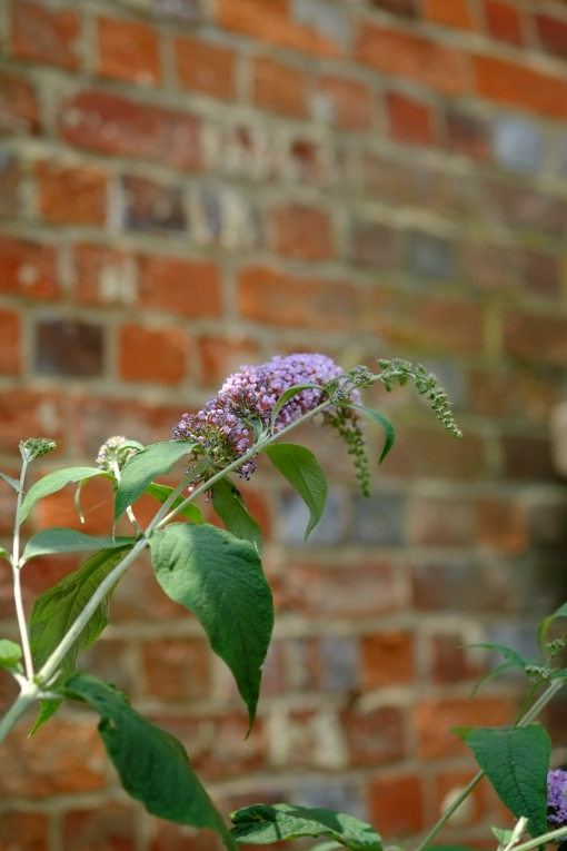 Brick wall and Buddleia