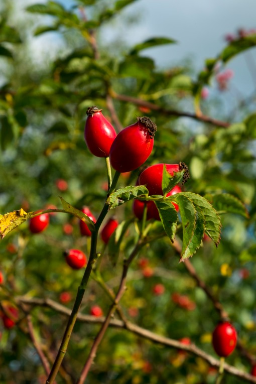 Autumn Colours, rose hips