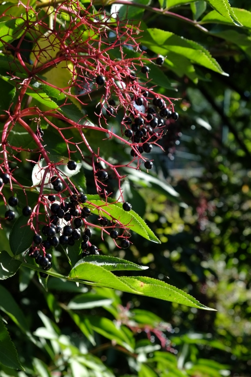 Autumn Colours : Elderberries anyone?