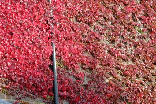 Autumn Colour: Creeper and pipe as the sun goes down