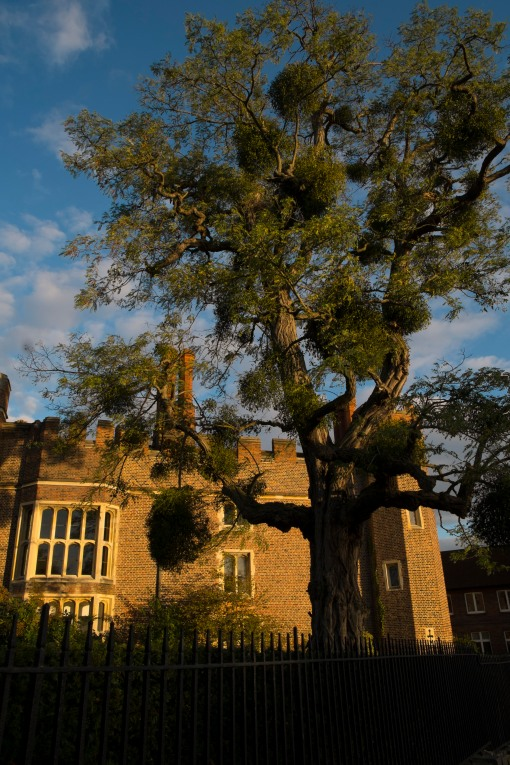 Tree, Mistletoe and Hampton Court at sunset