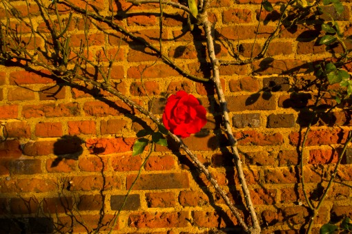 Rose against brick wall