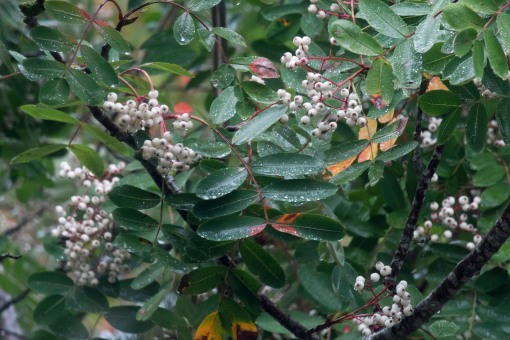 White berries in the rain