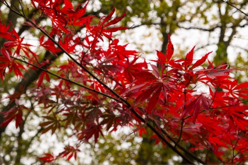 Last of the red leaves in Cold Ash