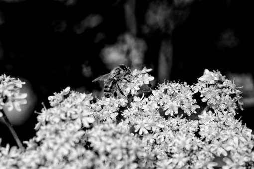 Honey bee on Yarrow