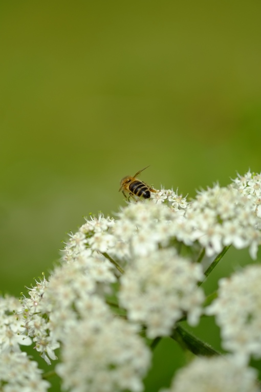 Yarrow and Bee